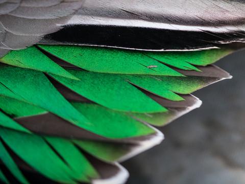 Sarcelle d'hiver - Anas crecca