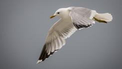 Goéland cendré – Larus canus – Common Gull