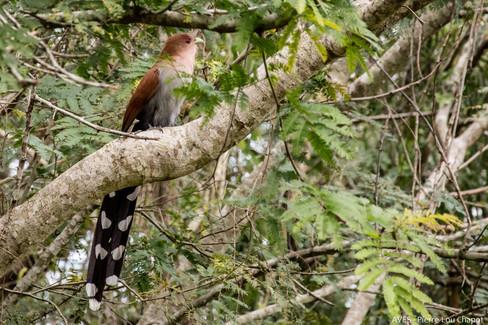 Piaye écureuil - Piaya cayana