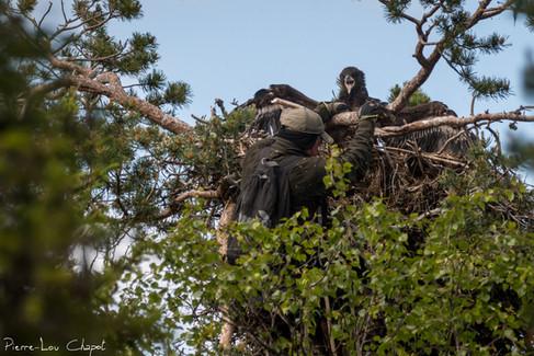 A l'arrivée au sommet, l'aiglon déploie ses ailes et ouvre un bec menaçant, mais il s'en tient à une intimidation sans être agressif.