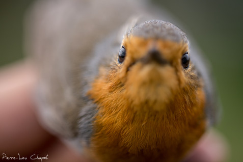 Rougegorge familier – Erithacus rubecula – European Robin