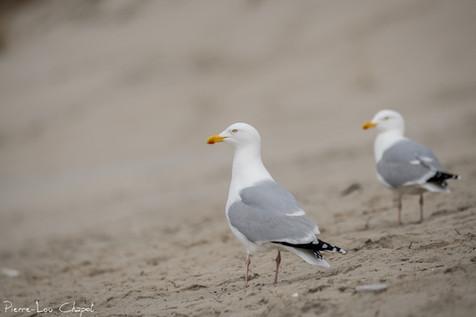 Goéland argenté – Larus argentatus – European Herring Gull