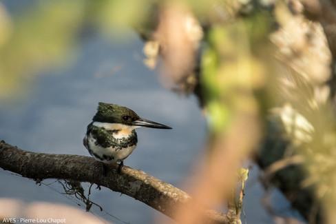 Martin-pêcheur vert - Chloroceryle americana