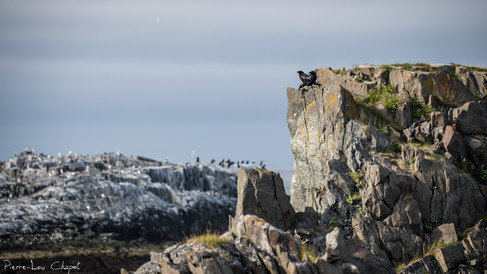 Grand Corbeau – Corvus corax – Northern Raven