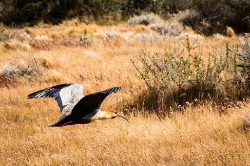 Black-faced ibis - Theristicus melanopsis