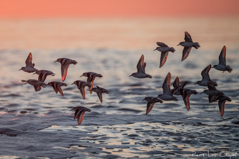Bécasseau sanderling – Calidris alba – Sanderling
