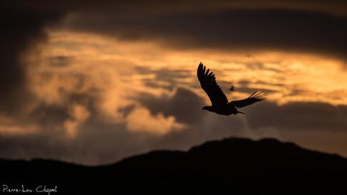 Pygargue à queue blanche – Haliaeetus albicilla – White-tailed Eagle