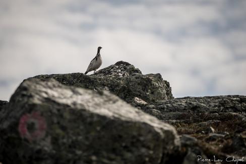 Lagopède alpin – Lagopus muta – Rock Ptarmigan