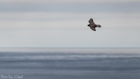 Faucon gerfaut – Falco rusticolus – Gyrfalcon