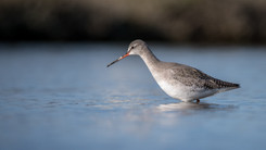Chevalier arlequin – Tringa erythropus – Spotted Redshank
