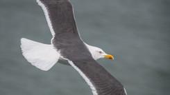 Goéland brun – Larus fuscus – Lesser Black-backed Gull