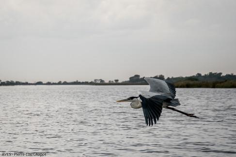 White-necked heron - Ardea cocoi