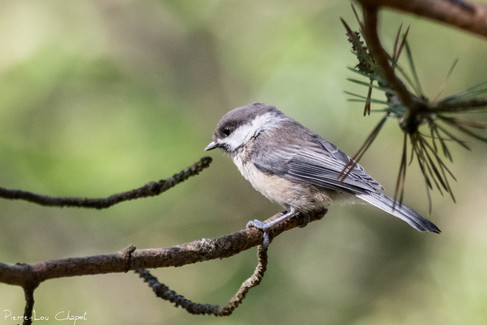 Mésange lapone – Poecile cinctus – Grey-headed Chickadee