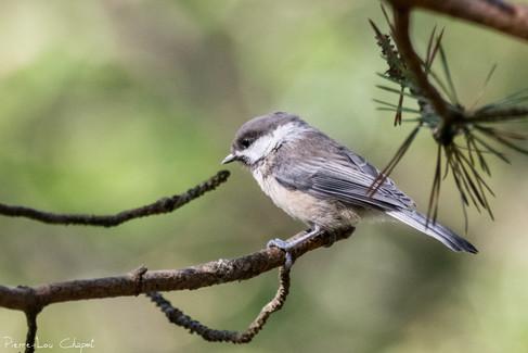 Mésange lapone – Poecile cinctus – Grey-headed Chickadee