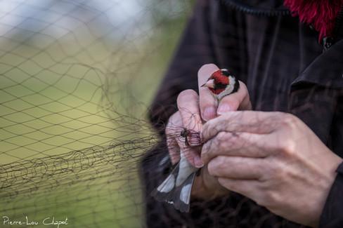 More classic passerine nets