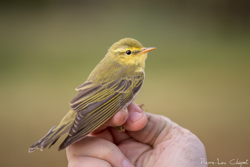Pouillot siffleur – Phylloscopus sibilatrix – Wood Warbler