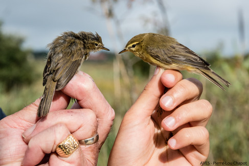 Willow Warbler or Common Chiffchaff ?
