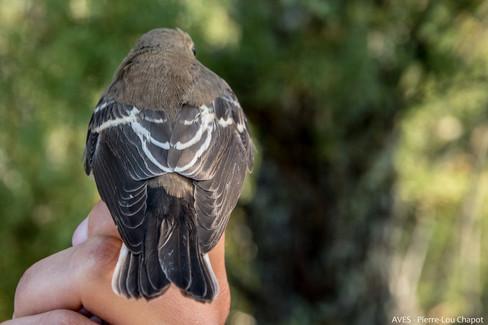 Gobemouche noir - Ficedula hypoleuca