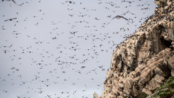 Colonie d'Hornøya - Hornøya seabird colony