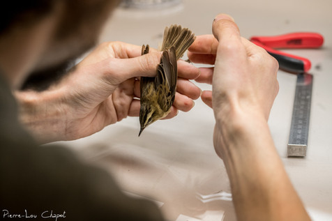 Ringing and examination of birds