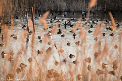 Fuligule morillon – Aythya fuligula – Tufted Duck