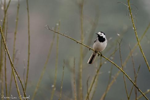 Bergeronnette grise – Motacilla alba – White Wagtail