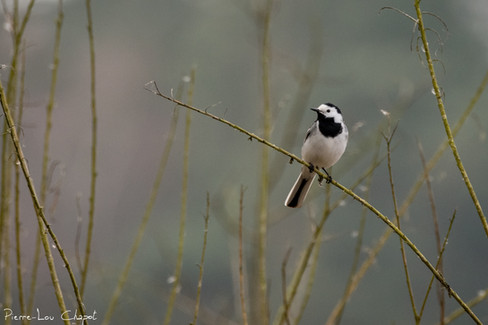 Bergeronnette grise – Motacilla alba – White Wagtail