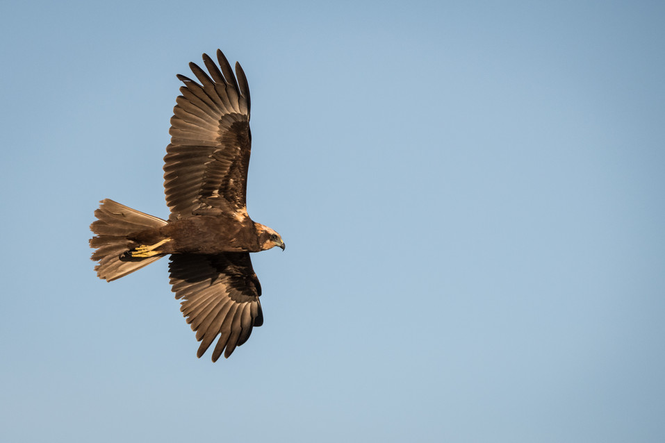 Busard des roseaux – Circus aeruginosus – Western Marsh Harrier