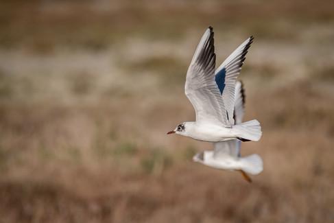 Mouette rieuse – Chroicocephalus ridibundus – Black-headed Gull