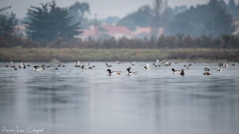 Tadorne de Belon (Tadorna tadorna) et autres canards