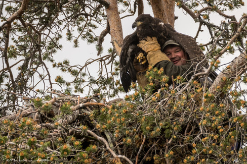 And this is a young white-tailed eagle, already recognized by its wide beak.