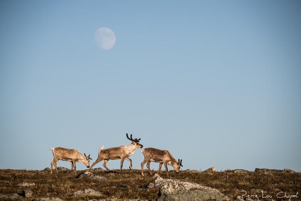 Renne – Rangifer tarandus – Reindeer