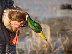 Canard colvert - Anas platyrhynchos