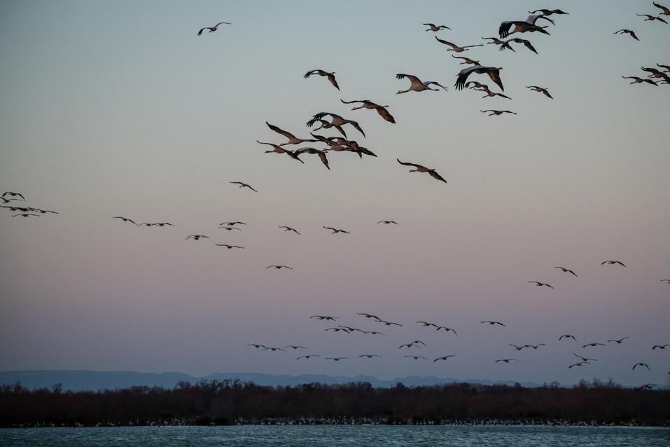 Grue cendrée – Grus grus – Common Crane