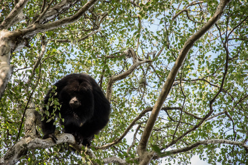 Black howler - Alouatta caraya