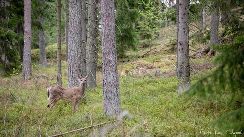 Cerf de Virginie – Odocoileus virginianus – White-tailed deer