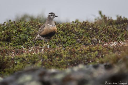 Pluvier guignard – Charadrius morinellus – Eurasian Dotterel