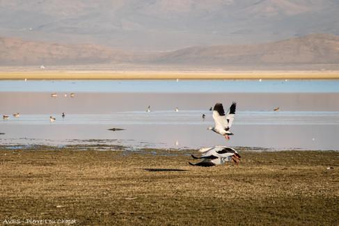 Andean Goose - Chloephaga melanoptera