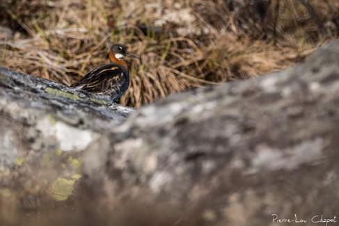 Phalarope à bec étroit – Phalaropus lobatus – Red-necked Phalarope