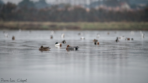 Anas penelope - Eurasian Wigeon and others ducks