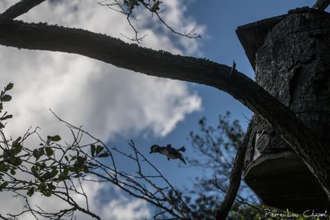 Après une journée passée dans le nichoir, et après une inspection des alentours par la femelle, c'est le moment, c'est le grand saut ! En quelques secondes toute la nichée a pris le départ et quitte le nid.