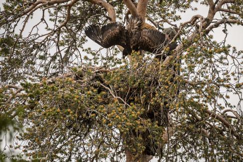 Une petite acrobatie permet de placer l'aigle en bonne position pour les manipulations, sur le dos et face au bagueur.