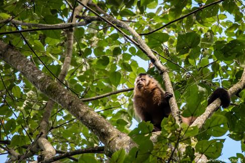 Tufted Capuchin - Cebus apella
