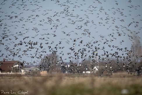 Bernache nonnette – Branta leucopsis – Barnacle Goose