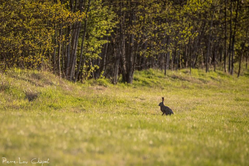 Lièvre d'Europe – Lepus europaeus – European hare