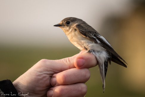 Gobemouche à collier – Ficedula albicollis – Collared Flycatcher