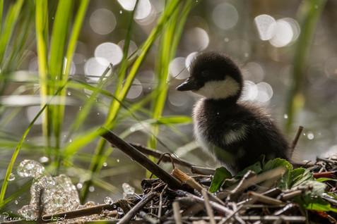 La femelle attend alors ses petits en bas du nichoir. Une fois tous réunis, ils s'éloignent ensemble sur le lac. L'un d'entre eux reviendra peut-être un jour dans un des nichoirs de la région, pour la plus grande satisfaction de Pentti.