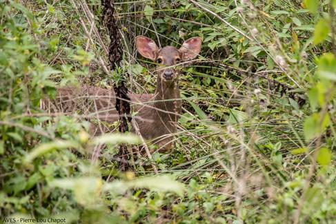 Brocket deer - Mazama