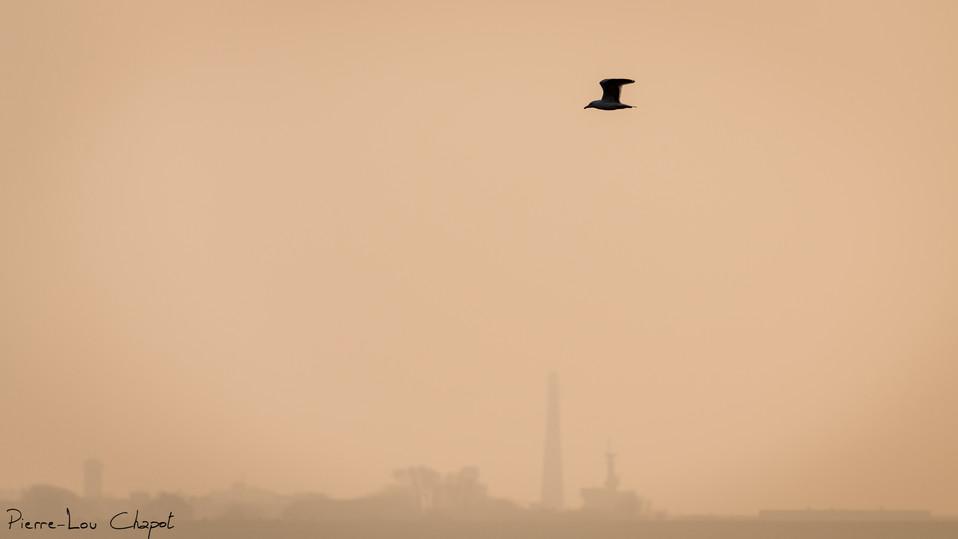Goéland – Larus sp. – Gull