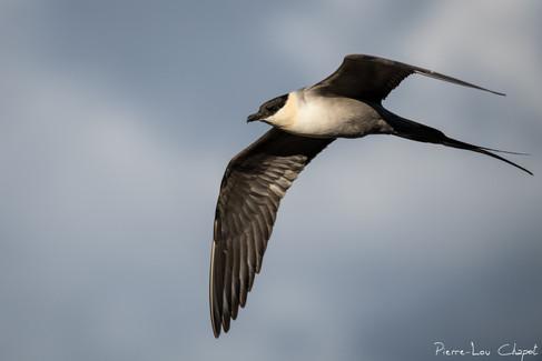 Labbe à longue queue – Stercorarius longicaudus – Long-tailed Jaeger